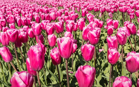 Pink blooming Tulip bulbs of a Dutch bulb grower. photo