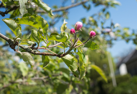Closeup of the dark pink buds of an apple tree on a sunny day in the spring season. Stock Photo