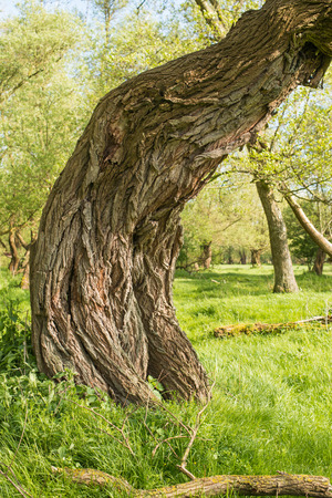 Closeup of an old willow tree which is completely curved. photo