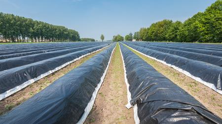 Lange asperges bedden bedekt met zwart plastic folie in het voorjaar.