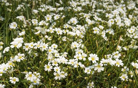 chickweed: White blooming Chickweed or Cerastium arvense
