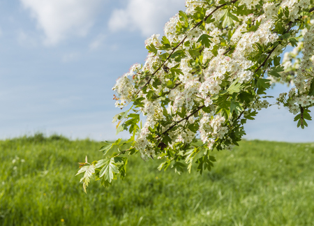 crataegus: Closeup of the branch of a white blossoming Hawthorn or Crataegus tree on a sunny day in springtime.