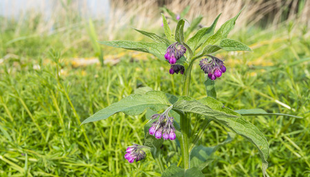 Purple blooming Comfrey against its blurred natural background. Stock Photo