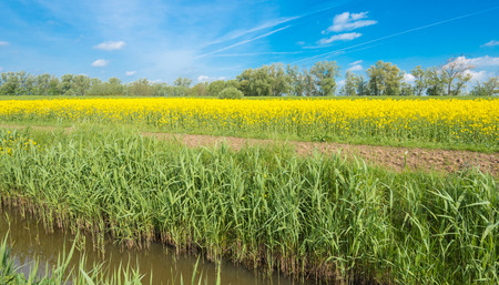 A small stream, green reeds, yellow flowering rapeseed and a blue sky in the spring season. photo