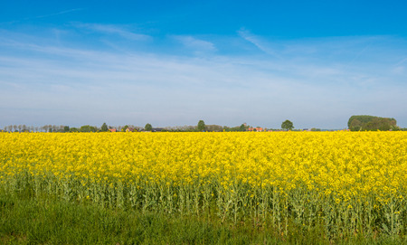 Agricultural landscape with yellow flowering rapeseed on a sunny day in the early spring season. photo
