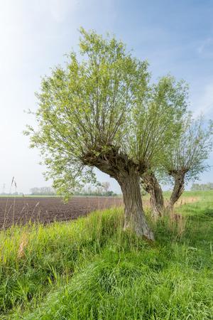 Schilderachtig landschap met drie oude wilgen met ontluikende jonge bladeren tegen een blauwe hemel in de lente Stockfoto