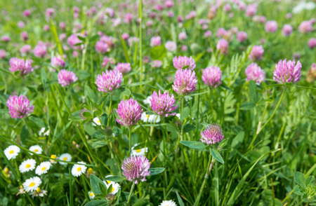 Closeup of Red Clover or Trifolium pratense in a field with some Common Daisies too