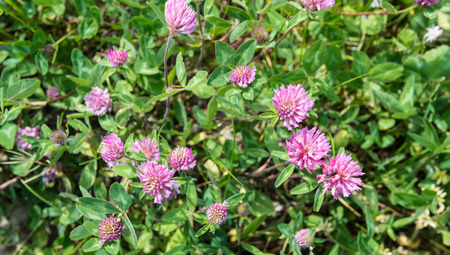 Closeup of flowering Red Clover in bird s eye view photo