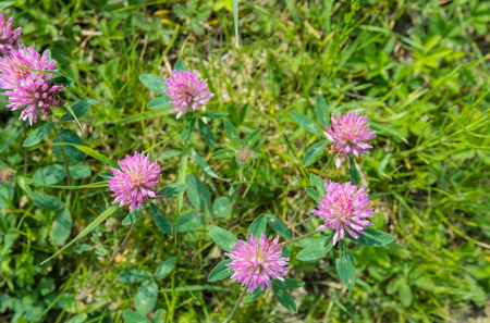 trifolium: Closeup of flowering Red Clover in bird s eye view