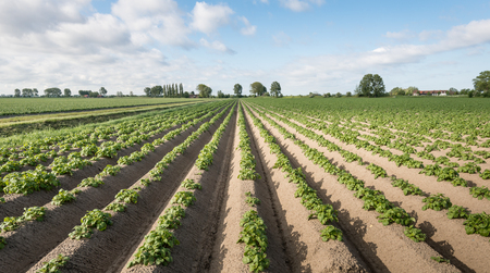 furrows: Young potato plants growing in earthed up converging ridges or fertile ground in the Netherlands