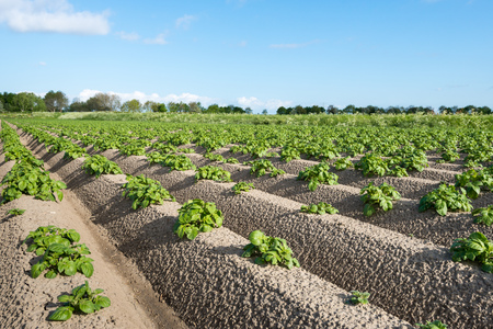 Closeup of young potato plants growing in earthed up converging ridges of fertile ground photo
