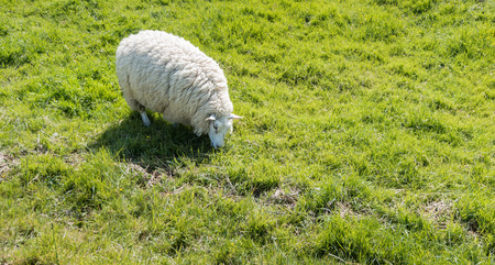 One sheep with a very thick and woolly coat grazing in the spring sun. photo