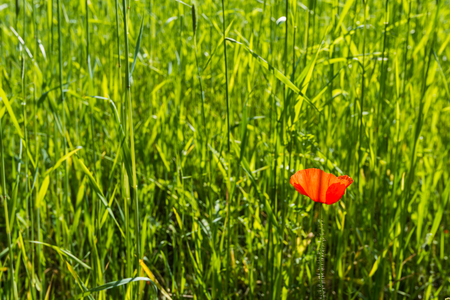 Red flowering poppy with subtle and almost transparent petals in a sunny field with even immature grain. photo