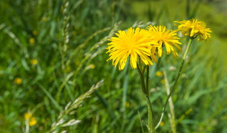 Closeup of a bright yellow blooming Corn Sow Thistle or Sonchus arvensis with a small beetle and in its natural habitat. photo
