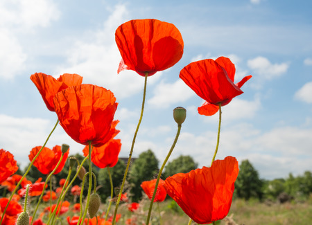 Colorful blooming and budding Poppy or Papaver rhoeas plants on a sunny day in springtime  photo