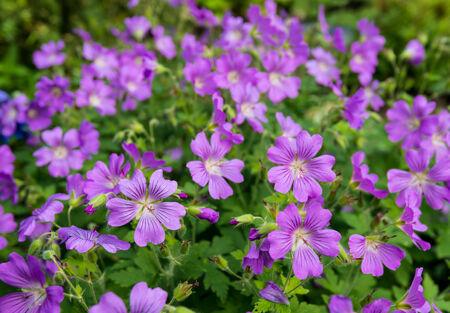 Mauve wilde bloeiende Woodland ooievaarsbek of Bosooievaarsbek planten in hun natuurlijke omgeving op een zonnige dag in de lente.