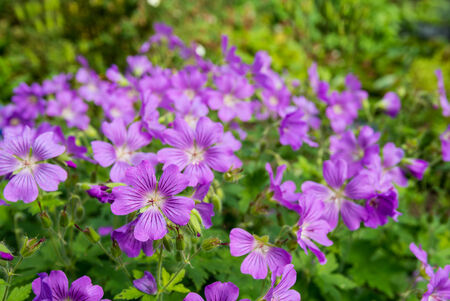 Mauve wild blooming Woodland Cranesbill or Geranium Sylvaticum plants in their natural habitat on a sunny day in springtime.