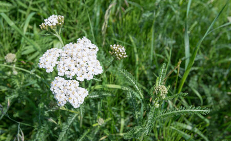 White blooming Yarrow or Achillea millefolium in its natural habitat on a sunny day in springtime. photo