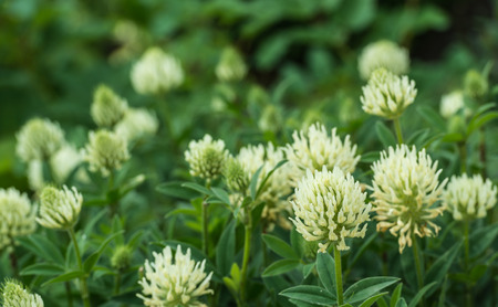 trifolium repens: Group of large flowers and buds of a White Clover or Trifolium repens plant in the spring season. Stock Photo