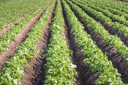 seemingly: Seemingly endless rows of fresh green young potato or Solanum tuberosum plants on a Dutch field.