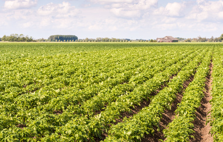 Seemingly endless rows of fresh green young potato or Solanum tuberosum plants on a Dutch field with the farm in the background.