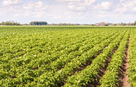 Schijnbaar eindeloze rijen van verse groene jonge aardappel of Solanum tuberosum planten op een Nederlands veld met de boerderij op de achtergrond.