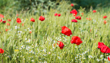 Field edge with red blossoming and overblown poppies, white and yellow blooming camomile plants and other wildflowers illustrating a large variety of bio-diversity. photo