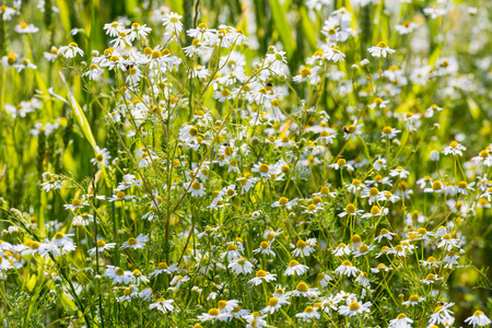 Closeup German chamomile or Matricaria chamomilla plants white and yellow flowering at the edge of a farm land in the Netherlands on a sunny afternoon in the spring season. photo