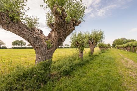 Rijen knotwilgen of Salix bomen en een wandelpad in een landelijk gebied in de late namiddag in het begin van het zomerseizoen. Stockfoto