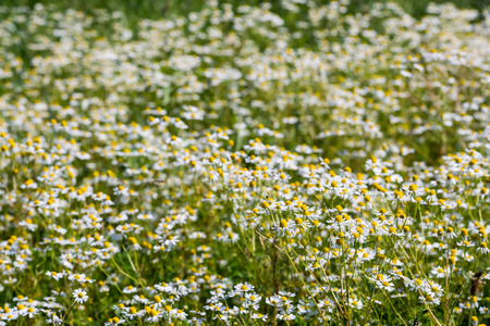 Closeup of a field of bright blooming German chamomile plants on a sunny day in the beginning of the summer season  photo
