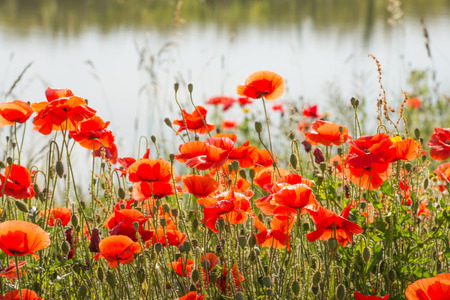 papaver rhoeas: Budding and flowering Poppy or Papaver rhoeas plants with seed boxes at the edge of the water at the end of a sunny summer day  Stock Photo