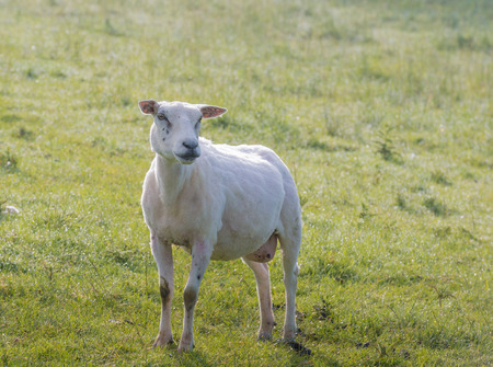 recently: Recently shorn sheep poses in the still dewy grass early in the morning in the summer season