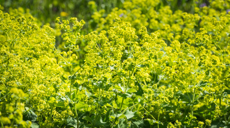 alchemilla mollis: Bright yellow budding and blooming Lady