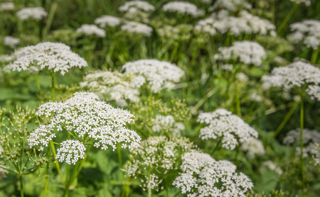 queen anne   s lace: Closeup of white blooming Wild Chervil or Anthriscus sylvestris plants in the early summer season growing and in their natural habitat