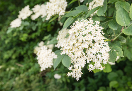 elder tree: Closeup of the white flowers of an European elder or Sambucus nigra tree in the early summer season  Stock Photo