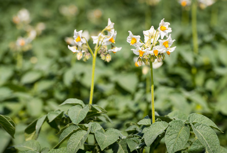 tuberosum: Closeup of white and yellow blossoming potato or Solanum tuberosum plants in the early summer season