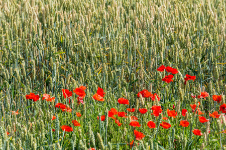 Translucent petals of red flowering poppies in front of a wheat field in low morning sunlight in the early summer season  photo