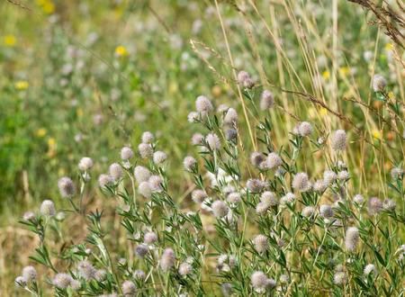 trifolium: Closeup of blooming Stone Clover or Trifolium arvense plants in their natural habitat  Stock Photo