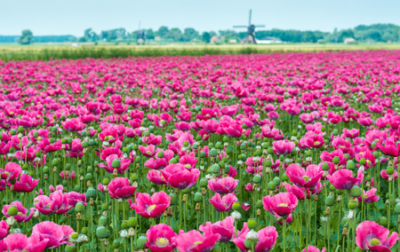 Dutch landscape with many pink flowers en seed boxes of Papaver somniferum plants and in the background the edge of a small village with a windmill  photo