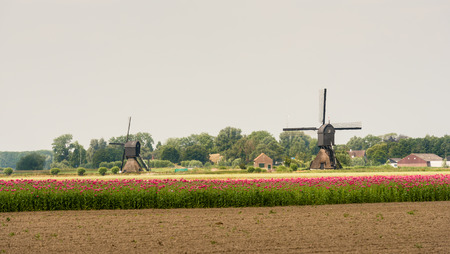 Dutch landscape with a ploughed field, a field with many pink flowering Papaver somniferum plants and in the background the edge of a small village with two windmills  photo