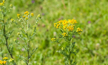st james s: Closeup of a yellow blooming Ragwort or Jacobaea vulgaris plant in its natural habitat on a sunny day in summertime