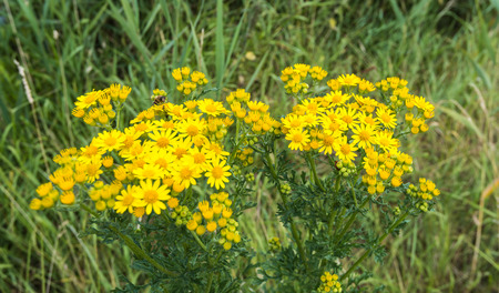 senecio: Closeup of a yellow blooming Ragwort or Jacobaea vulgaris plant in its natural habitat on a sunny day in summertime