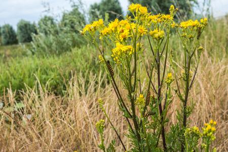 senecio: Closeup of a yellow blooming Ragwort or Jacobaea vulgaris plant with eating black and yellow caterpillars of the Cinnabar moth Tyria jacobaeae
