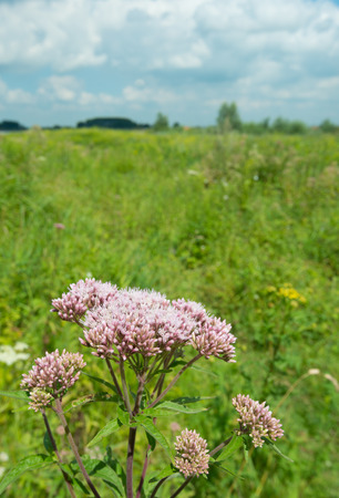 dioecious: Closeup of pale pink flowering Hemp Agrimony or   Eupatorium cannabinum herb plants in their own habitat.