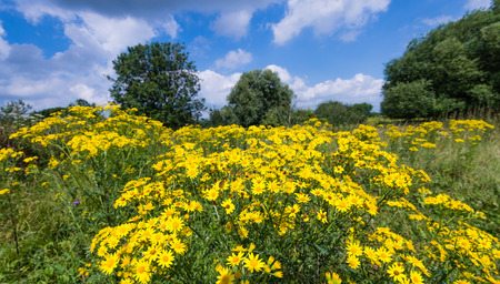 Gele bloeiende Jakobskruiskruid of Senecio jacobaea planten in hun eigen leefomgeving Stockfoto