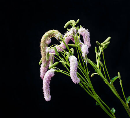 sanguisorba: Closeup of budding, pink flowering and overblown Toper's plant or Sanguisorba obtusa against a black background