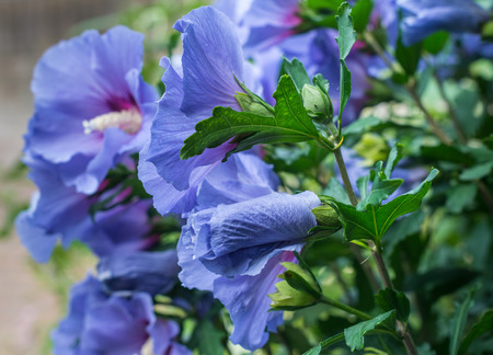 Sideways closeup of a coiled blue purple bud in the foreground and in the background some flowers of a Rose of Sharon or Hibiscus shrub in its natural habitat. Stock Photo