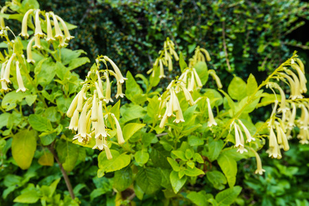tubular: Closeup of creamy yellow flowering Cape Figwort or Phygelius aequalis Yellow Trumpet plants in a garden.