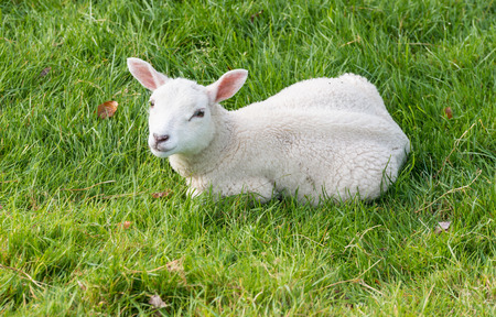 Woolly lamb lies in the grass and stares into space photo