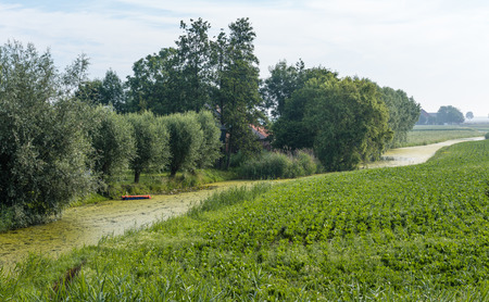 meandering: Dutch agricultural landscape with blooming potato plants beside a small meandering river covered with duckweed.